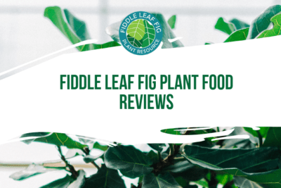 We are thrilled to have received so many positive reviews on Amazon. Here's a sampling of the latest Fiddle Leaf Fig Plant Food reviews.