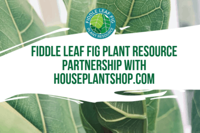 We're excited to announce that we've partnered with House Plant Shop to offer Fiddle Leaf Fig Plant Food when you purchase a Fiddle Leaf Fig!
