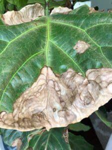 Fiddle Leaf Fig Brown Spots Dryness