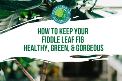 Fiddle leaf figs are popular because they provide eye-catching beauty. Here are the keys for how to keep your fiddle leaf fig healthy, green, and gorgeous.