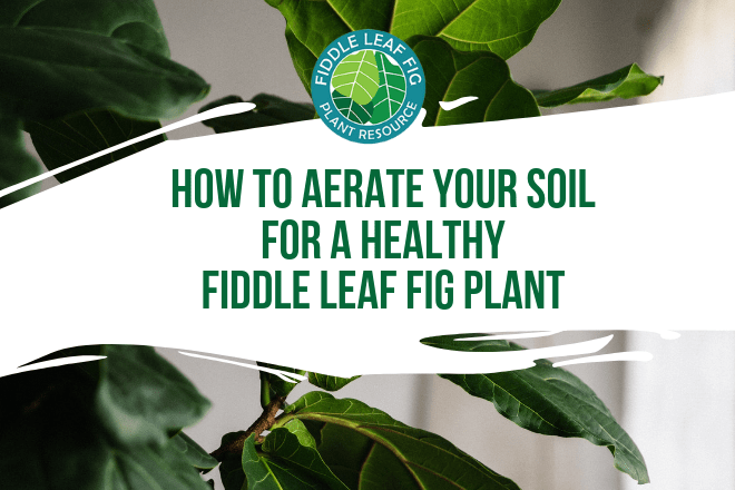 Unless you are an experienced houseplant owner, you probably have never considered how to aerate fiddle leaf fig soil. Take a few minutes to try it today!