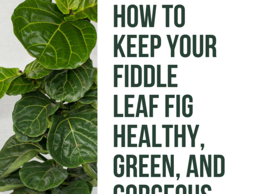 How to Keep Your Fiddle Leaf Fig Healthy, Green, and Gorgeous