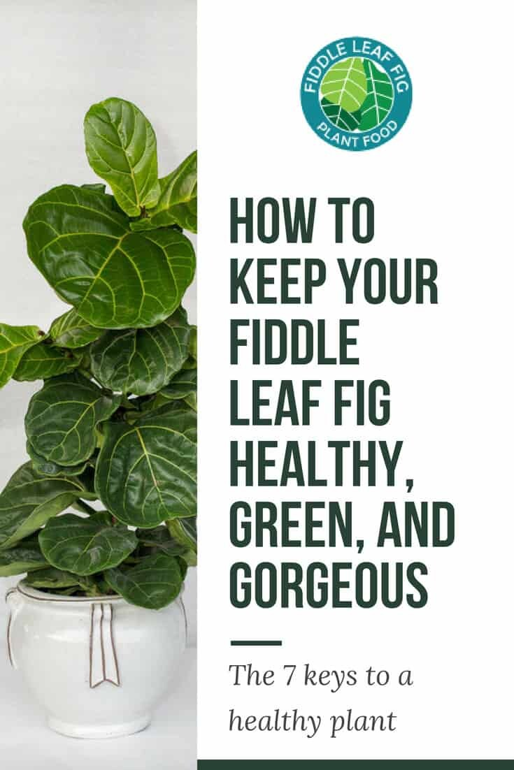 How to Keep Your Fiddle Leaf Fig Healthy Green and Gorgeous
