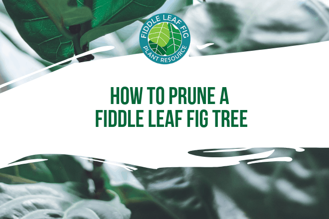 Pruning a fiddle leaf fig is an important part of keeping your plant healthy and looking its best. In this video, we'll discuss how to prune a fiddle leaf fig, the tools to use, and what to look out for to keep your plant safe.