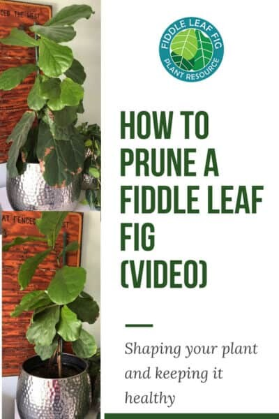 How to Prune a Fiddle Leaf Fig Video