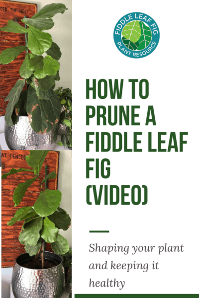 How to Prune a Fiddle Leaf Fig (Video)