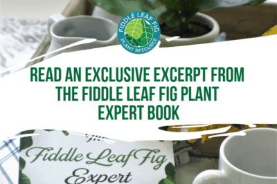 It's my goal to simplify everything I know about fiddle leaf figs in The Fiddle Leaf Fig Expert. The book makes it easy for anyone to grow healthy plants.