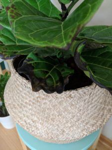Brown Spots Fiddle Leaf Fig Root Rot 1