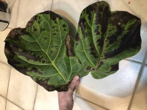 Brown Spots Fiddle Leaf Fig Root Rot 3