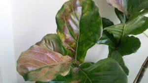Sunburn on fiddle leaf fig plant