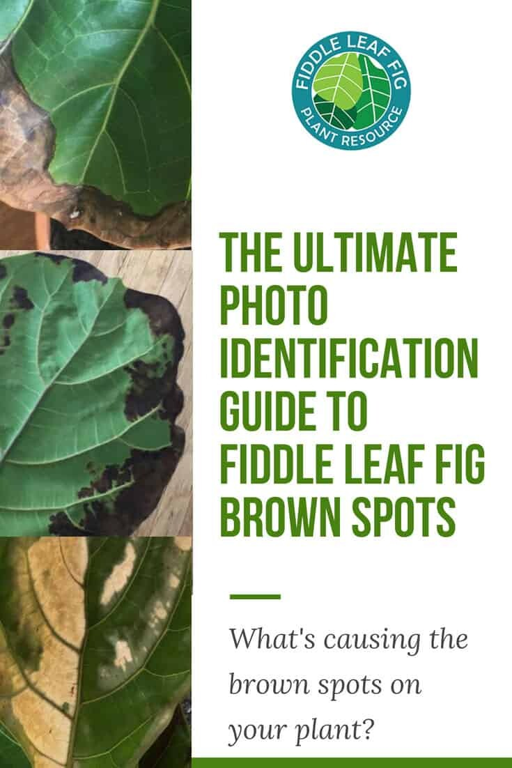 The Ultimate Photo Identification Guide to Fiddle Leaf Fig