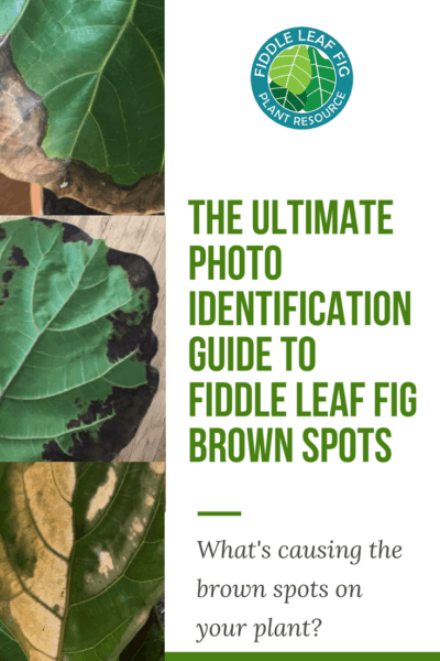 The Ultimate Photo Identification Guide to Fiddle Leaf Fig Brown Spots