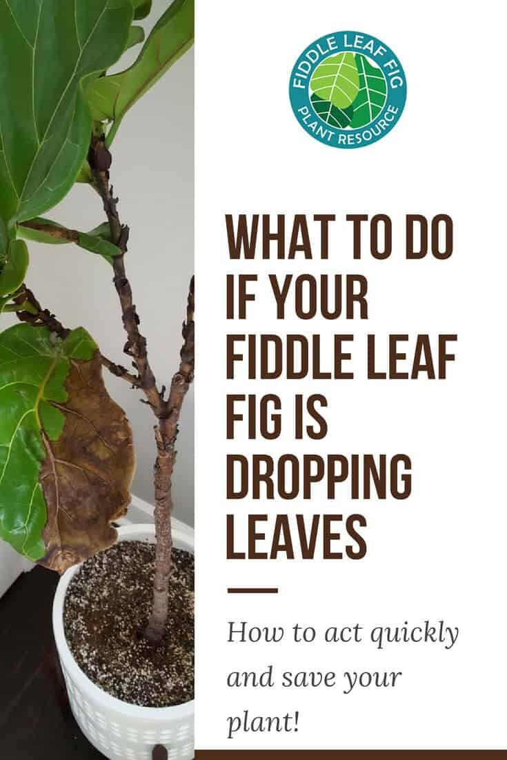 What to Do if Your Fiddle Leaf Fig is Dropping Leaves