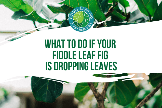 If your fiddle leaf fig is dropping leaves, act now to address the problem and save your plant. First, find out why your plant is dropping leaves. Then, act quickly to give your fiddle leaf fig the best chance of survival.