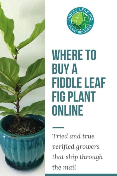 Where to Buy a Fiddle Leaf Fig Plant Online 2