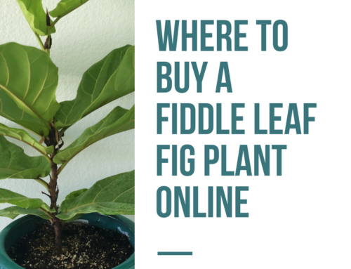 Where to Buy a Fiddle Leaf Fig Plant Online (Verified Growers)