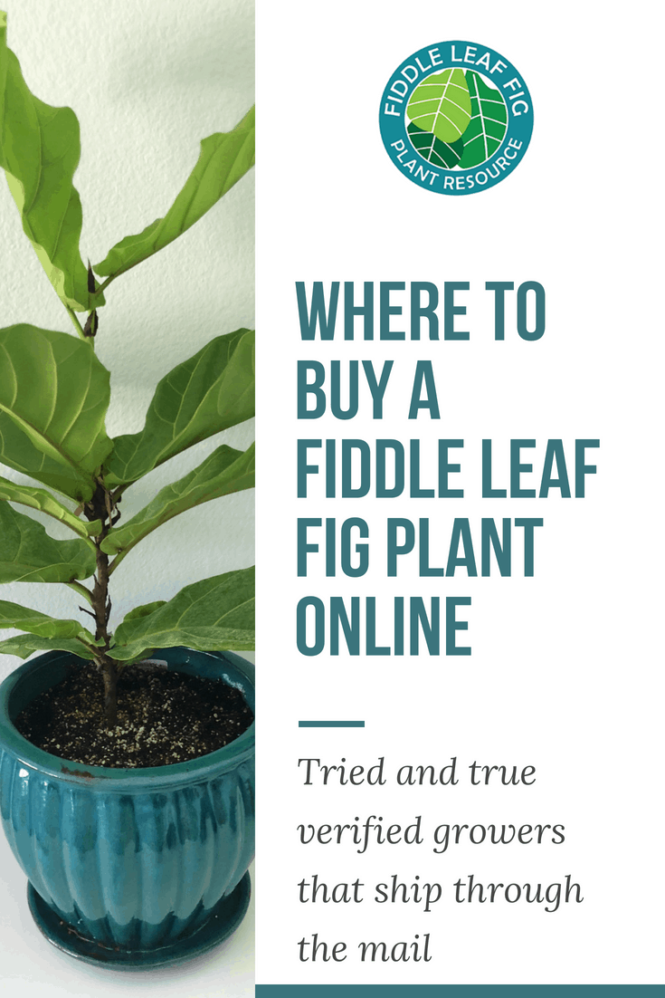 Where to Buy a Fiddle Leaf Fig Plant Online
