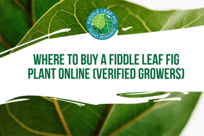 You may be wondering where to buy a fiddle leaf fig plant online. We've been working to create a trusted network of online fiddle leaf fig sellers.