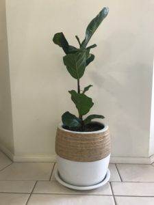 What to Do if Your Fiddle Leaf Fig is Dropping Leaves 1