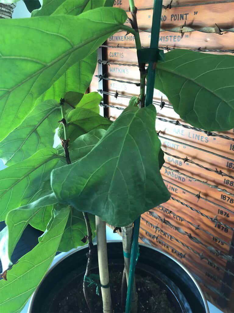 Dry Fiddle Leaf Fig