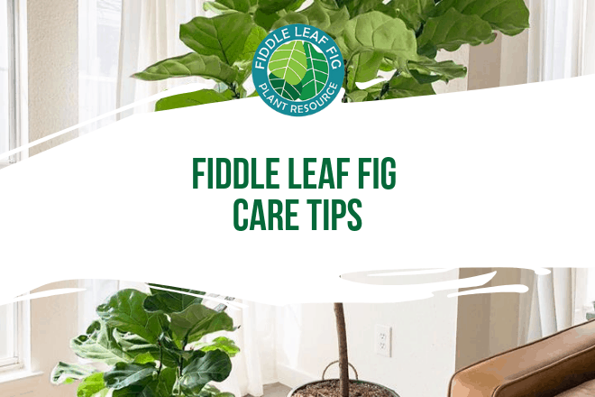 Is your fiddle leaf fig having problems, but you're not sure what's wrong? We've created an online interactive quiz to find out!