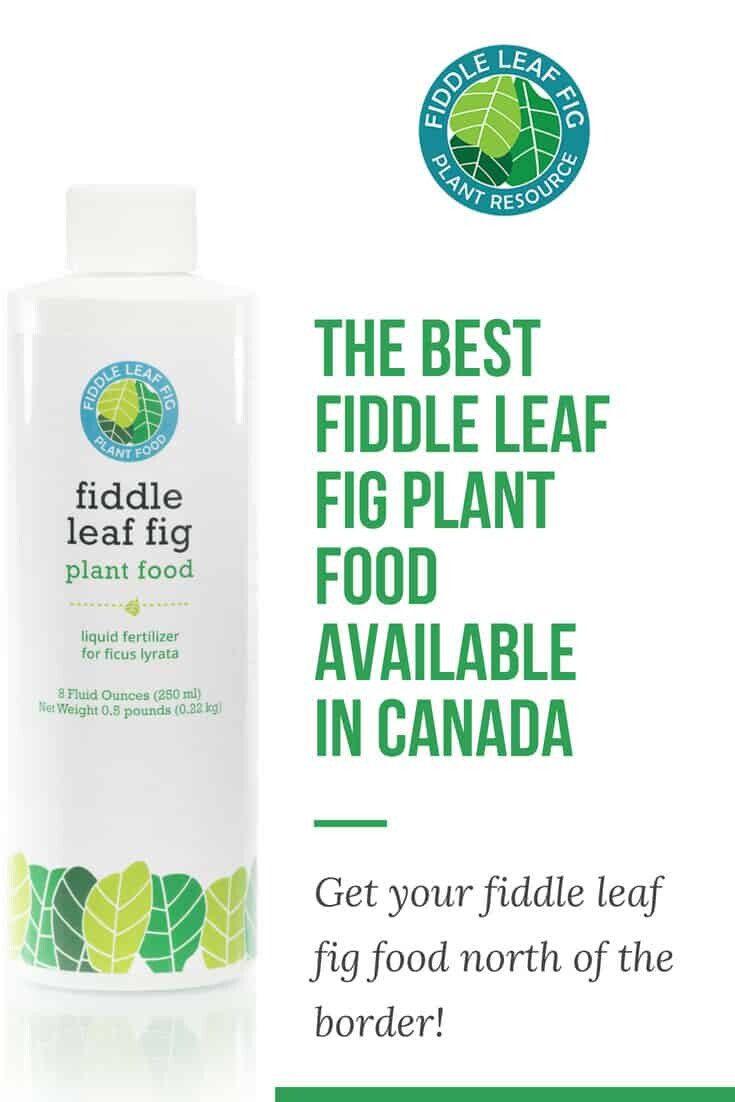 Fiddle Leaf Fig Plant Food in Canada