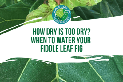 Did you know that the #1 cause of sick fiddle leaf fig plants is overwatering? Here's a guide for when to water your fiddle leaf fig tree.