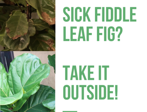 Sick Fiddle Leaf Fig Plant? Take it Outside!