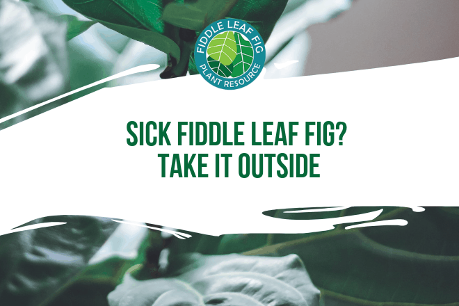 Do you have a sick fiddle leaf fig? Sometimes, fiddle leaf fig plants get stuck in a rut and it's tough to break them out.