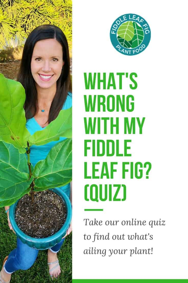 Whats Wrong With My Fiddle Leaf Fig