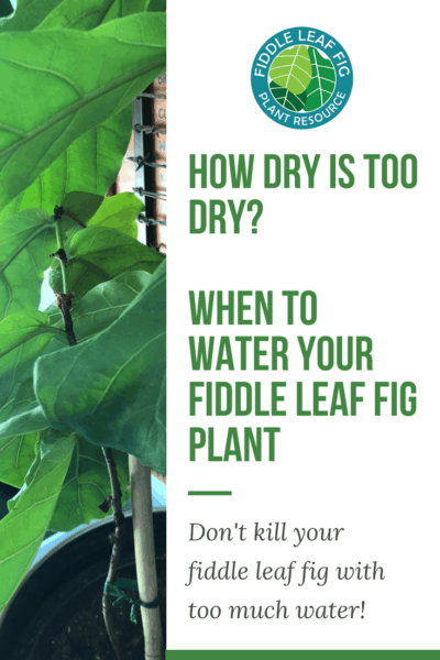 When to Water Your Fiddle Leaf Fig Tree