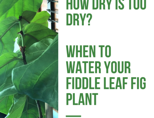 How Dry is Too Dry? When to Water Your Fiddle Leaf Fig Tree