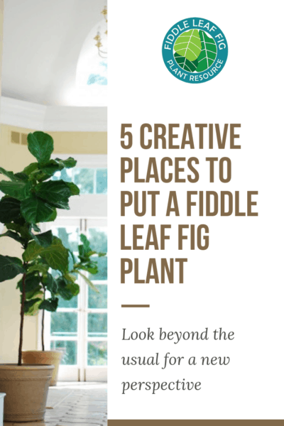 5 Creative Places to Put a Fiddle Leaf Fig Plant