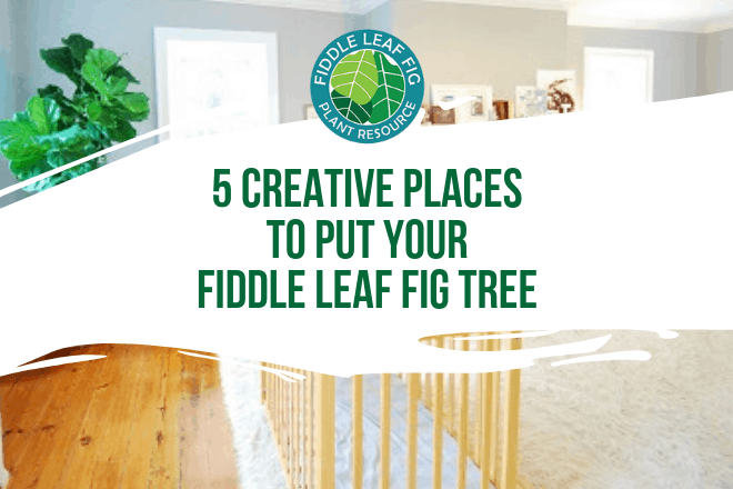 Wondering which places to put a fiddle leaf fig plant? Click to view some creative spaces where your fiddle leaf fig tree can thrive.
