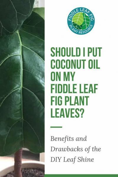 Should I Put Coconut Oil on My Fiddle Leaf Fig Plant Leaves Benefits and Drawbacks of the DIY Leaf Shine