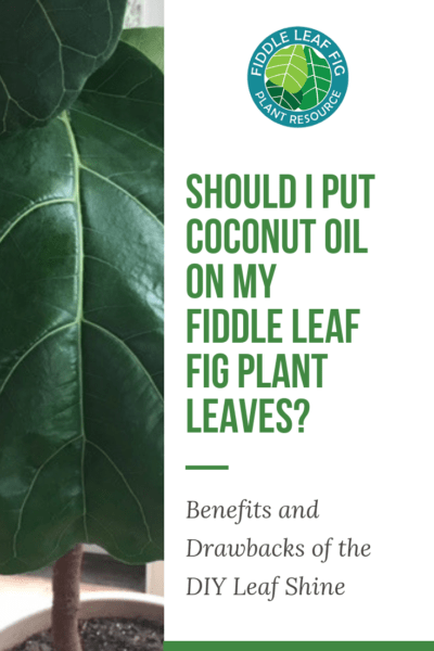 Should I Put Coconut Oil on My Fiddle Leaf Fig Plant Leaves