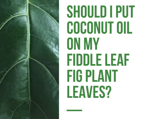 Should You Put Coconut Oil on Fiddle Leaf Fig Leaves? Pros and Cons of DIY Leaf Shine