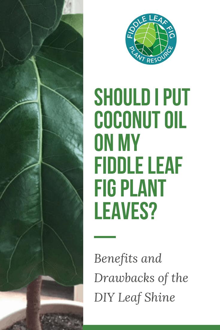 Should I Put Coconut Oil on My Fiddle Leaf Fig Plant Leaves