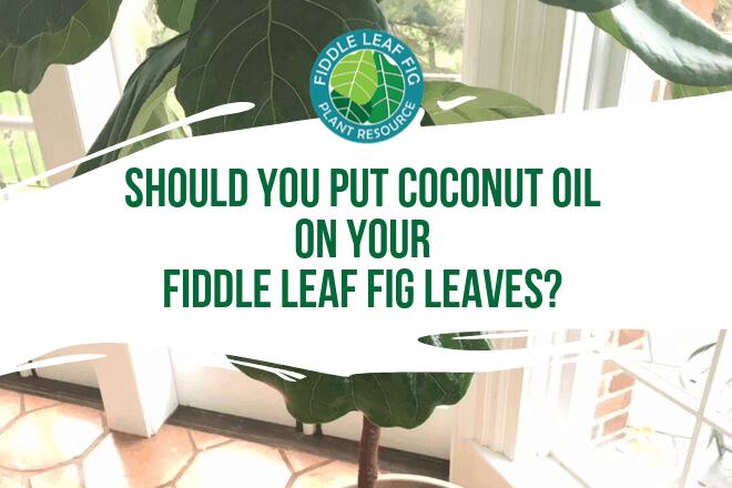 Should You Put Coconut Oil on Fiddle Leaf Fig Leaves?