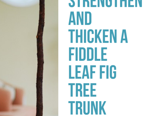How to Strengthen and Thicken a Fiddle Leaf Fig Tree Trunk (Video)