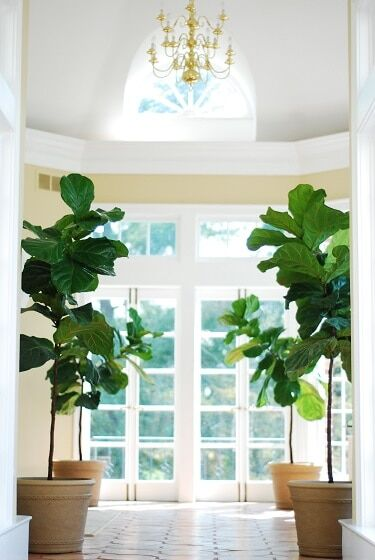 creative places to put a fiddle leaf fig plant home office