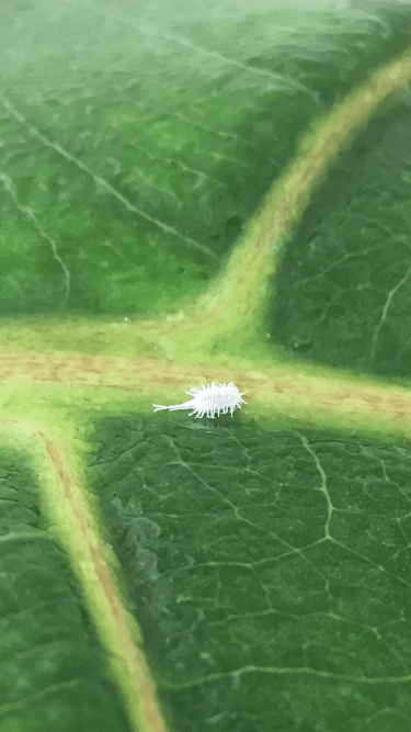 Mealy Bugs on Fiddle Leaf Fig Tree