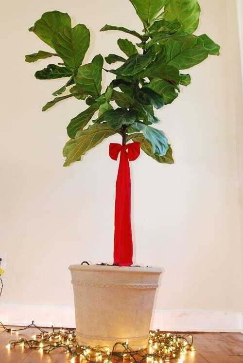 Christmas fiddle leaf fig