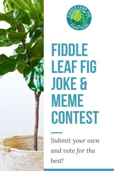 Fiddle Leaf Fig Meme Contest