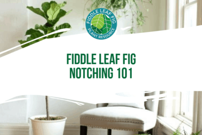 If you own afiddle leaf fig tree, you've probably thought about what you can do to get it to grow new branches. Fiddle leaf fig notching is the answer.