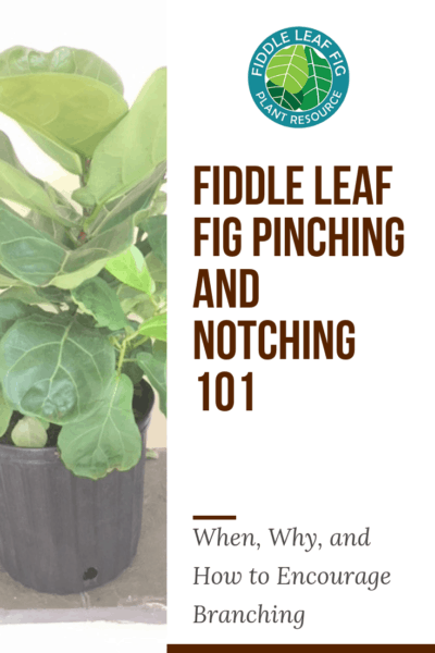 Fiddle Leaf Fig Pinching and Notching 101: When, Why, and How to Encourage Branching (With Before and After Pictures)