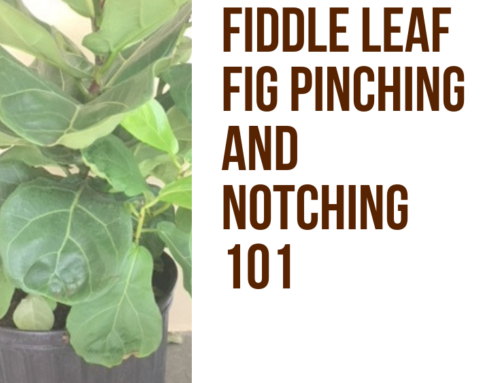 Fiddle Leaf Fig Notching 101: When, Why, and How to Encourage Branching (With Before and After Pictures)