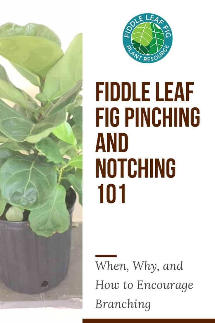 Fiddle Leaf Fig Notching 101 How To Encourage Branching Pictures