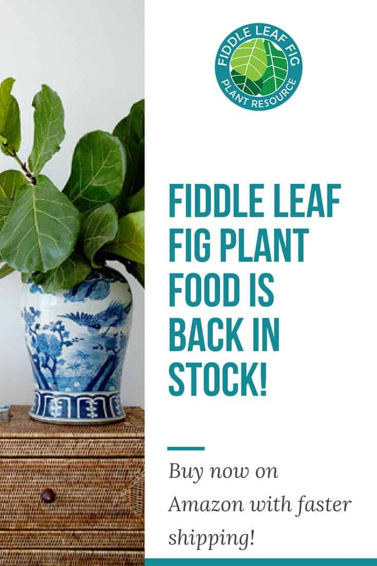 Fiddle Leaf Fig Plant Food is Back in Stock