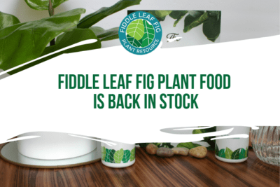We are happy to announce thatFiddle Leaf Fig Plant Food is back in stock! We just finished moving the product to Amazon to provide the same great price, but less expensive shippingand faster delivery options.Order on Amazon now!